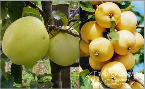 Яблоня услада: описание сорта, достоинства и недостатки, характеристика плодов, сроки и правила посадки, сбор и хранение урожая