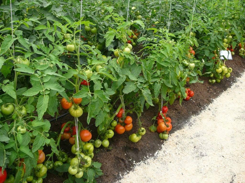Как правильно пасынковать помидоры в открытом грунте: видео, фото, схема
