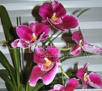 Орхидея мильтониопсис: уход, размножение, болезни и вредители. советы для начинающих цветоводов