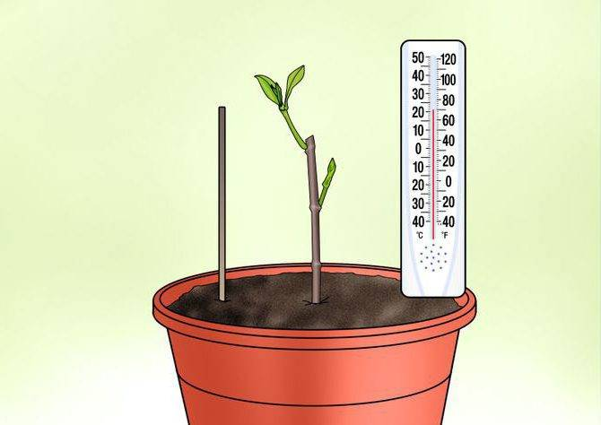 Каким способом можно размножить и вырастить жасмин