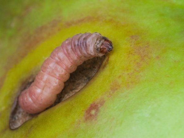 Почему яблоки гниют прямо на дереве и что делать: плодовая гниль – монилиоз – 4 сезона огородника