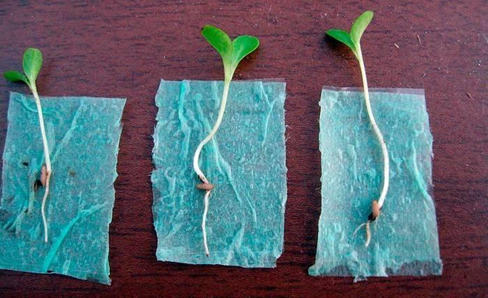 Выращивание рассады, подкормка и пересадка томатов в домашних условия