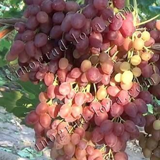 Виноград сорта велес: описание, выращивание и уход