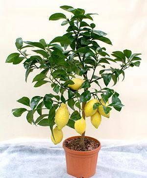 Как пересадить лимон в домашних условиях и когда можно пересаживать, уход за комнатным лимоном после пересадки в другой горшок