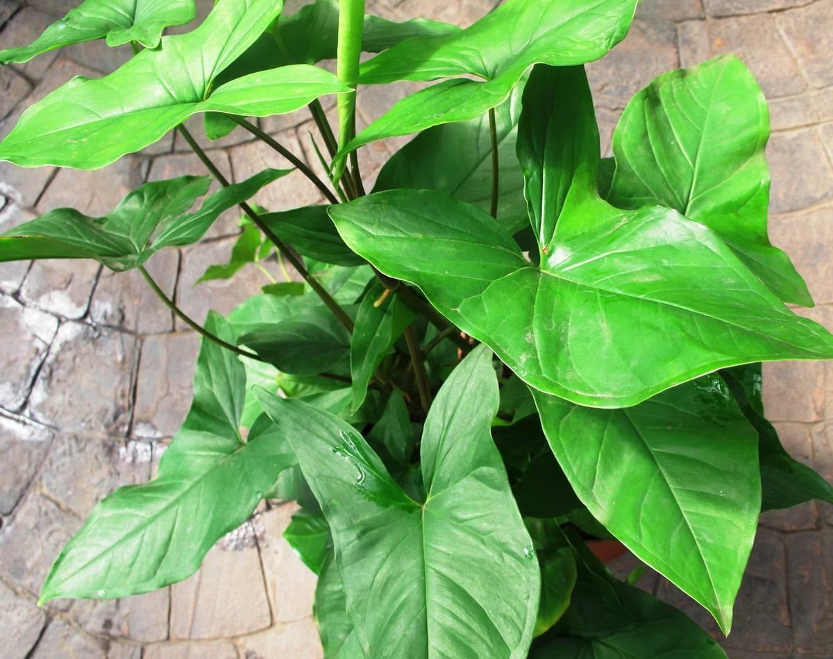 Сингониум: уход в домашних условиях, фото и распространенные виды selo.guru — интернет портал о сельском хозяйстве