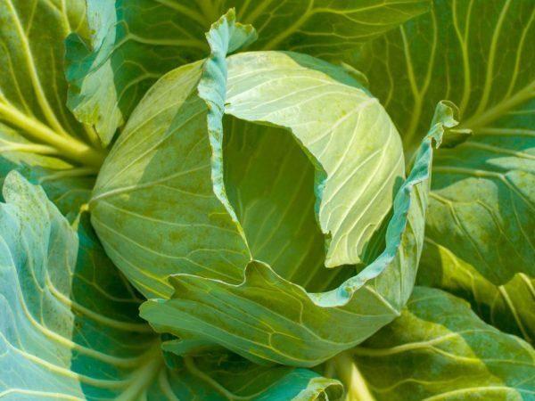 Капуста харрикейн f1. 2500 семян. bejo. голландия. 2,5-4,5 кг белокочанная среднеспелая, долгое хранение. профупаковка