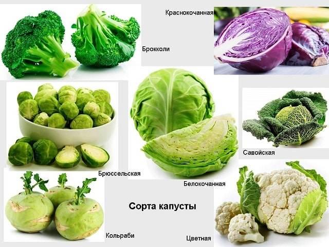 История савойской капусты. интересные факты про савойскую капусту. | огородники