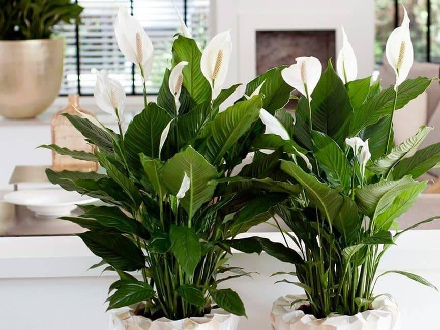 Спатифиллум или цветок женское счастье: уход, фото