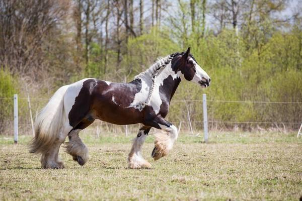 Изабелловая масть лошадей: история, кормление и содержание
