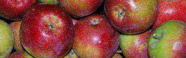 Сорт яблони легенда – описание, фото