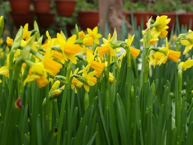 Нарциссы после цветения