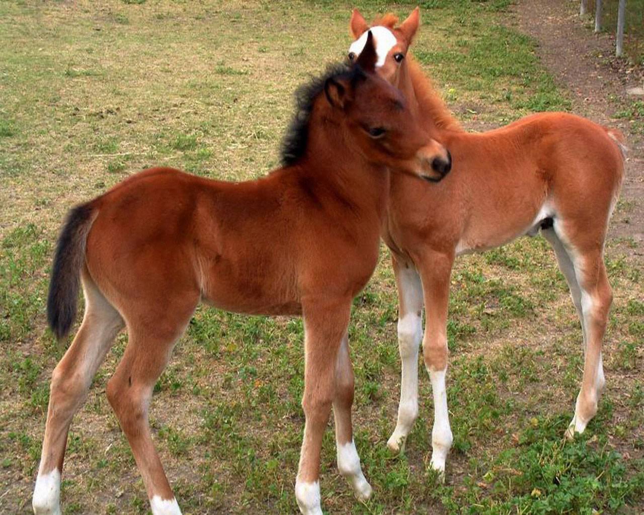 Лошадь тинкер (30 фото): уход за конями цыганской упряжной породы, кормление жеребенка