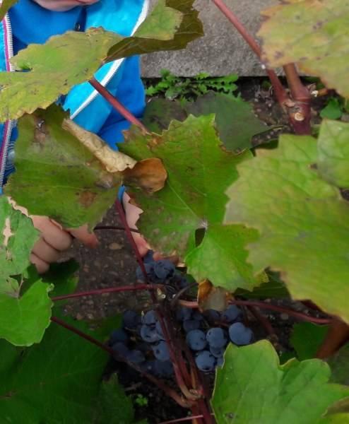 Как выращивать виноград северный плечистик - агро журнал dachnye-fei.ru