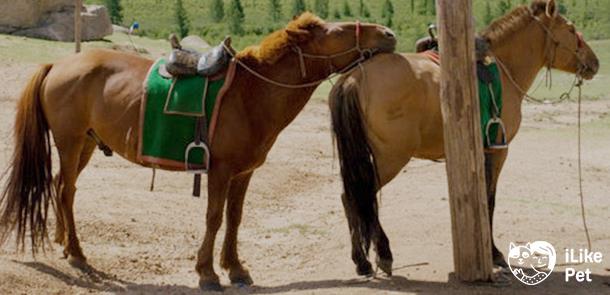 Монгольские лошади: история происхождения, основные характеристики, экстерьер, уход, применение
