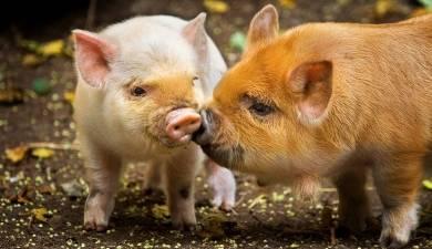 Искусственное осеменение свиней: техника проведения, описание