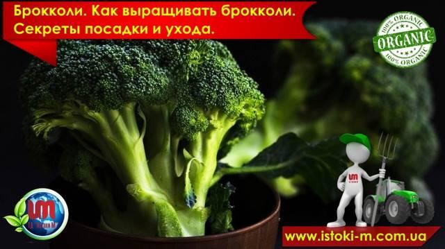 Выращивание брокколи - со вкусом