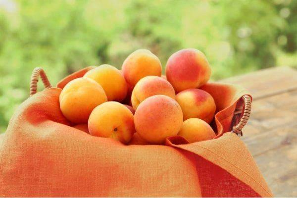 Описание сорта абрикоса триумф северный