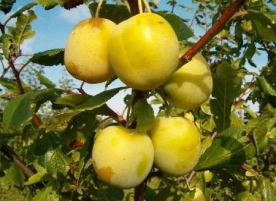 Описание и характеристики сливы сорта заречная ранняя, выращивание и уход
