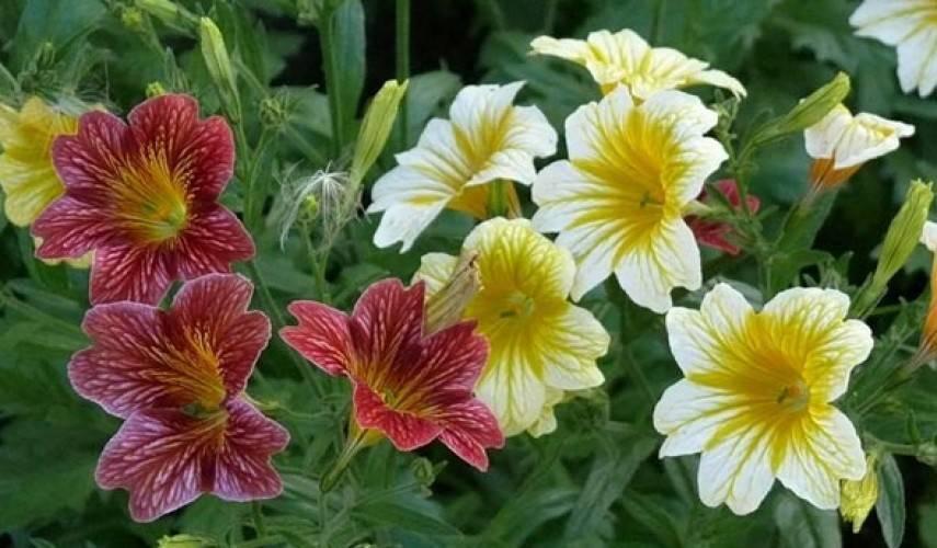 Все о сальпиглоссисе - фото, выращивание из семян в домашних условиях
