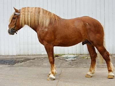 Лошади тяжеловозы: фото, история, экстерьер, европейские и русские породы, разведение