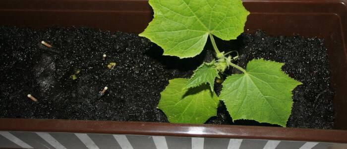 Как выращивать помидоры и огурцы на балконе или подоконнике городской квартиры: как посадить и затем ухаживать за этими овощами в домашних условиях? русский фермер