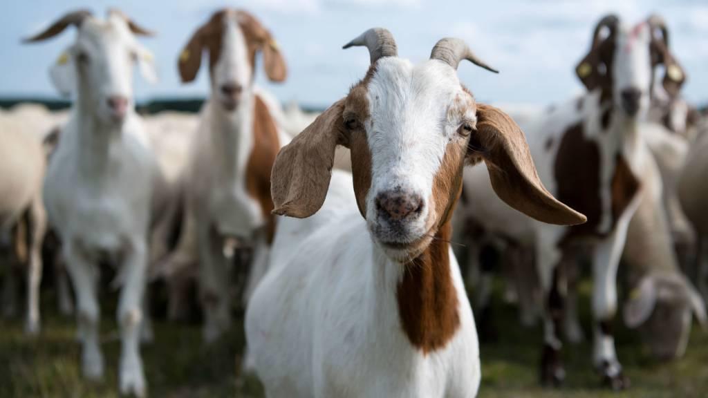 Причины выделений у козы после окота и методы лечения, профилактика