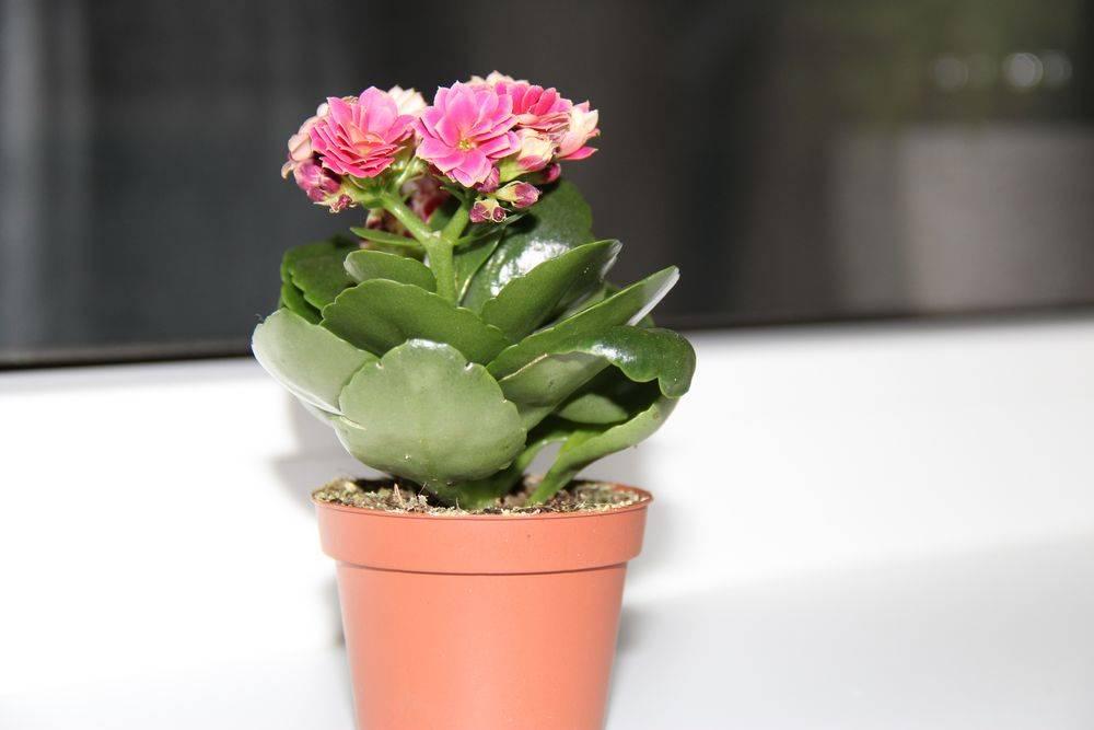 Каланхоэ - размножение листом и черенками в домашних условиях, особенности выращивания - sadovnikam.ru