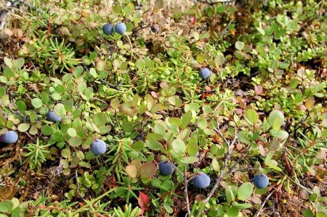 Болезни голубики садовой: фото, как их лечить, методы борьбы с вредителями