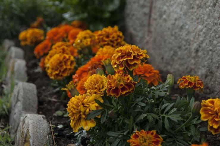 Когда сажать бархатцы в открытый грунт, в какое время лучше, можно ли сеять под зиму, в августе, как красиво оформить на клумбе, цена рассады, фото в период цветения русский фермер