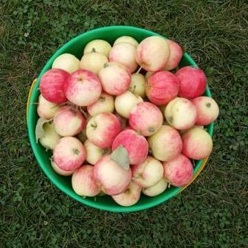 Яблоня грушовка: описание московского сорта, фото, отзывы, калорийность, посадка, польза
