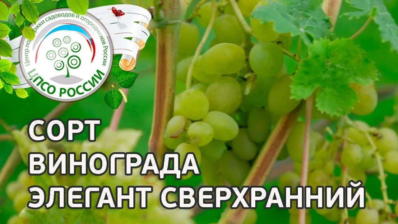 Скороспелый виноград «элегант сверхранний»