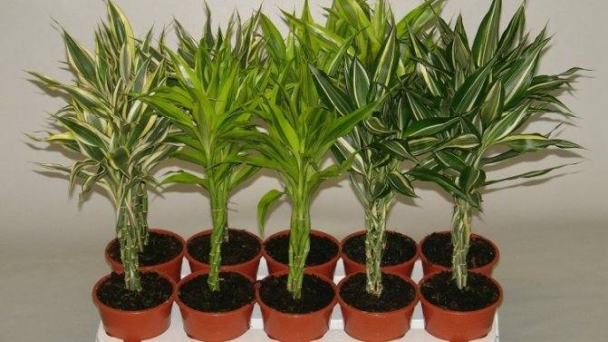 Посадка, размножение и уход за бамбуком в домашних условиях, фото - ландшафтник