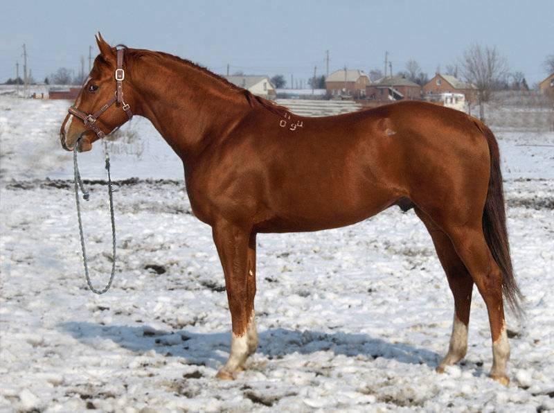 Буденновская лошадь — история породы, особенности, перспективы разведения. | cельхозпортал