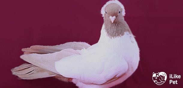 ✅ голуби монахи: описание и характеристика птиц, в чём отличия от других видов, выращивание и уход, фото - tehnoyug.com