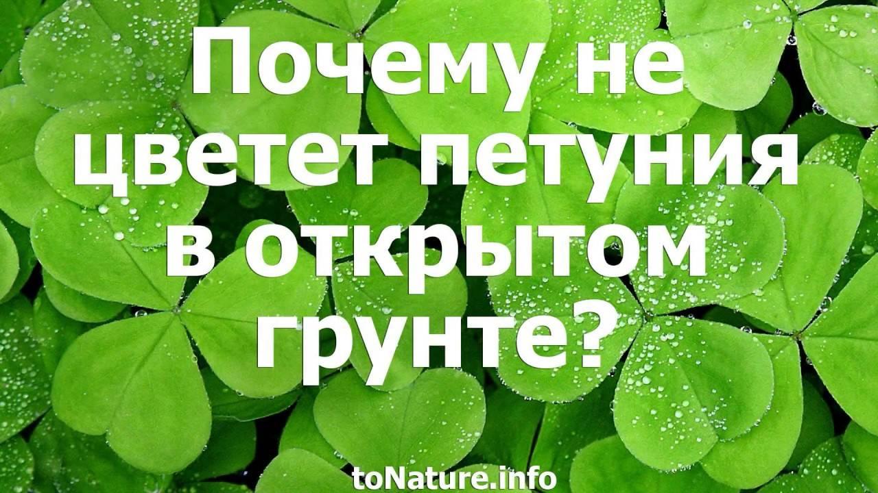 Петуния засыхает: что делать, если вянут нижние листья и цветы и как понять, почему с растением случилась такая проблема?дача эксперт