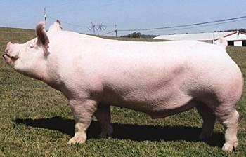 Разведение свиней в домашних условиях как малый бизнес