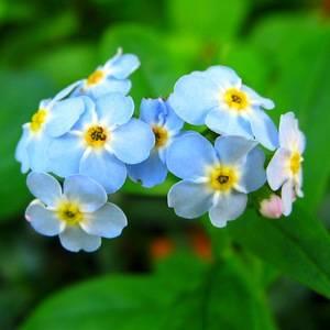 Незабудки: фото цветов с описанием, посадка, выращивание и уход