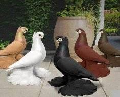 Узбекские голуби: двухчубые казахстана, игровые и бойные