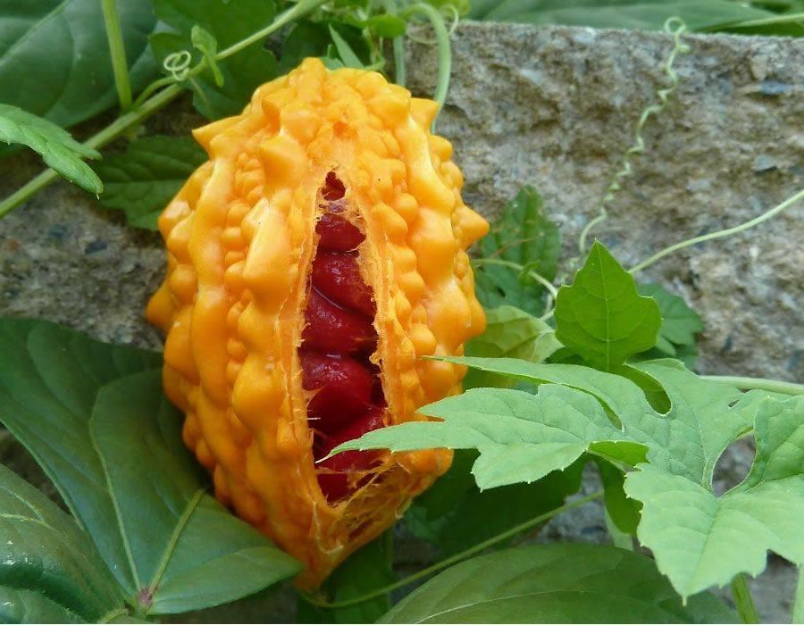 Индийский огурец момордика: что это за растение, полезные свойства и выращивание