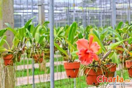 Лесные орхидеи: как выглядят северные цветы, а также растения в тропической местности, растения подмосковья и беламканда китайская