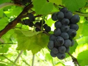 Виноград американского сорта «вэлиант»