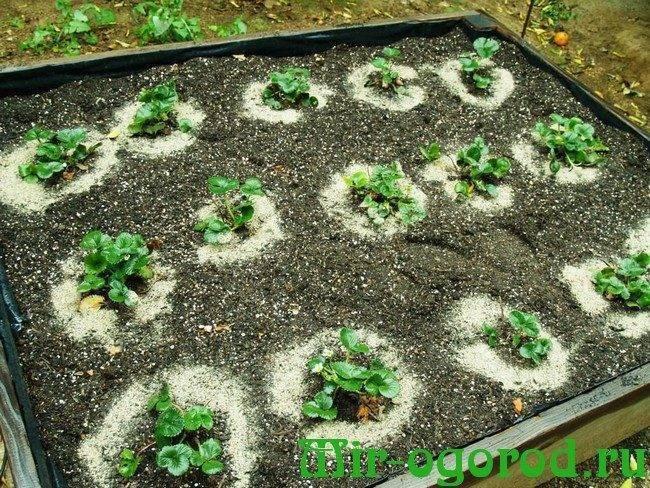 Как правильно пересадить клубнику осенью: лучшее время и место для проведения процесса