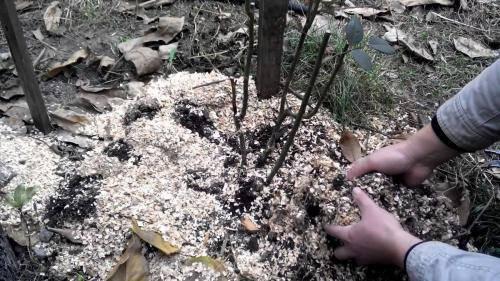 Уход за хризантемами осенью: особенности ухода, удобрение, полив, защита от растений и вредителей, подготовка к зиме, обрезка, укрытие