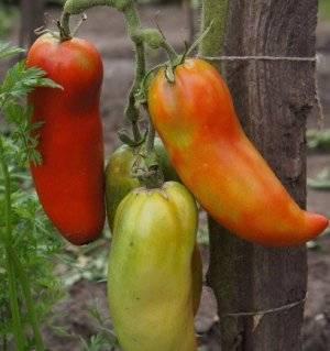 Перцевидные сорта томатов