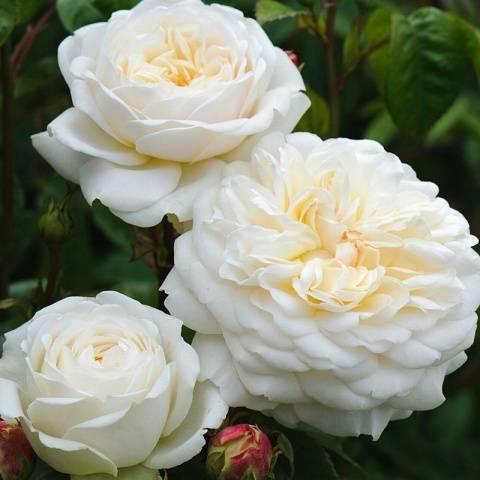Пионовидная роза: что это такое и как называется, а также фото кустового цветка, белые, красные, бордовые сорта джульетта и другие, размножение и уход за саженцамидача эксперт