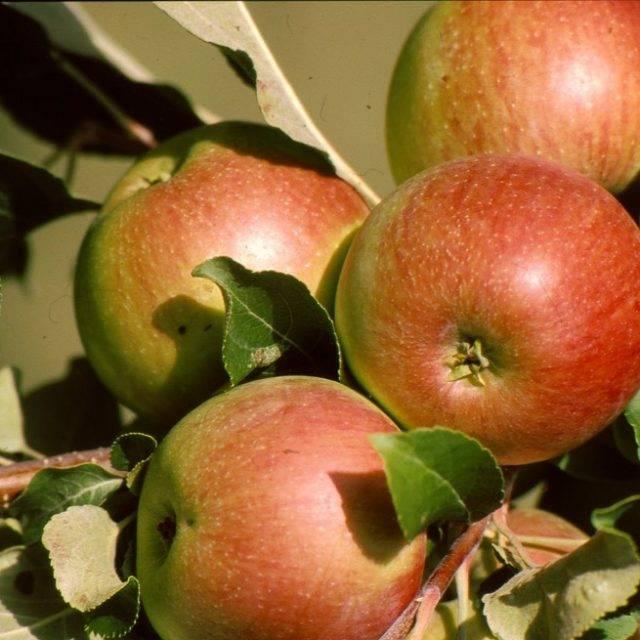 45 лучших сортов летних, осенних и зимних яблок
