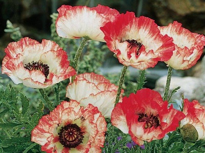 Как выращивать декоративные маки из семян?