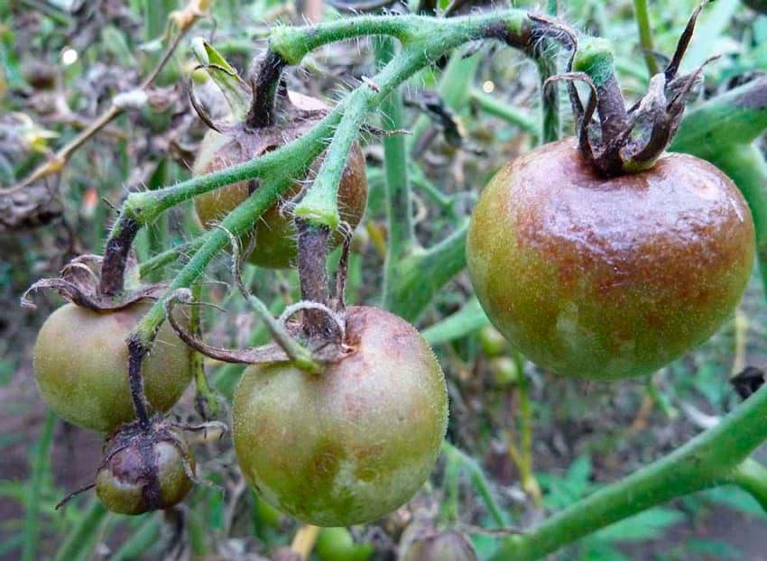 Боремся с белокрылкой на помидорах в теплице – самые проверенные методы