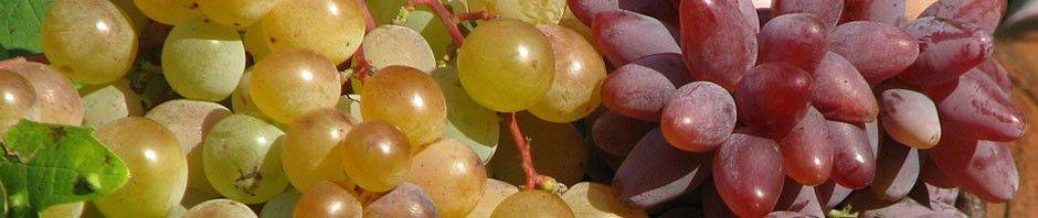 Сорт винограда фрумоаса албэ: отзывы и описание