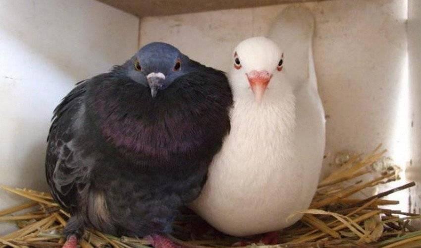 Как отличить голубя от голубки: определяем пол — selok.info